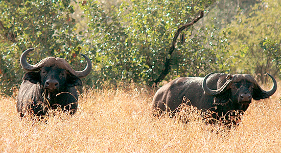 Buffalo,Manyane Resort,Pilanesberg National Park,Big 5