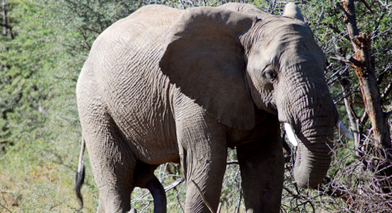 Elephant,Manyane Resort,Pilanesberg National Park,Big 5