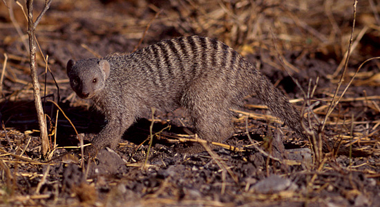 Banded Mongoose,Manyane Resort,Pilanesberg National Park,Big 5
